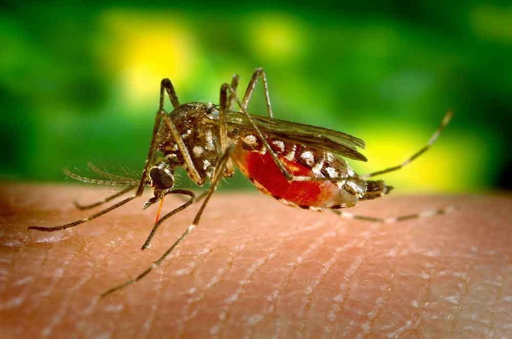 Zika Virus – Mikrozephalie durch mit Pyriproxifin verseuchte Moskitos?