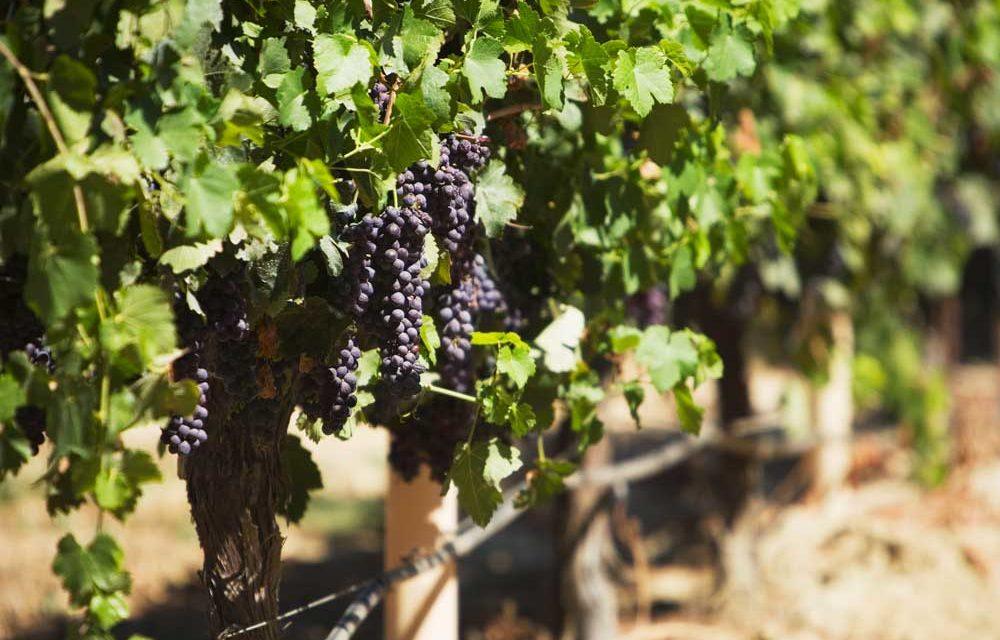 Weinstockleasing – Pro & Contra eines aktuellen Trends