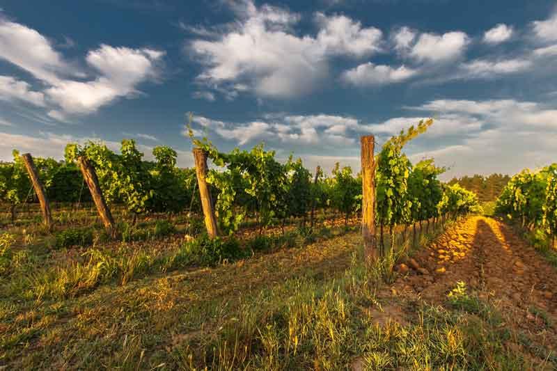 Weinstockleasing ist ein interessantes Geschenk für den Weinliebhaber.